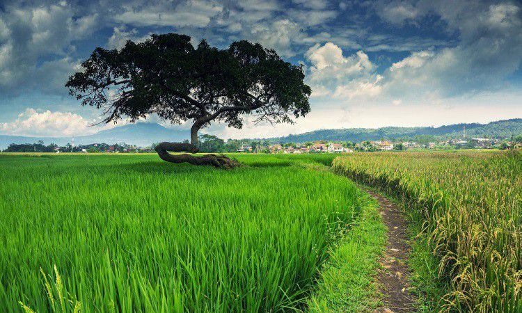 Pohon Pengantin