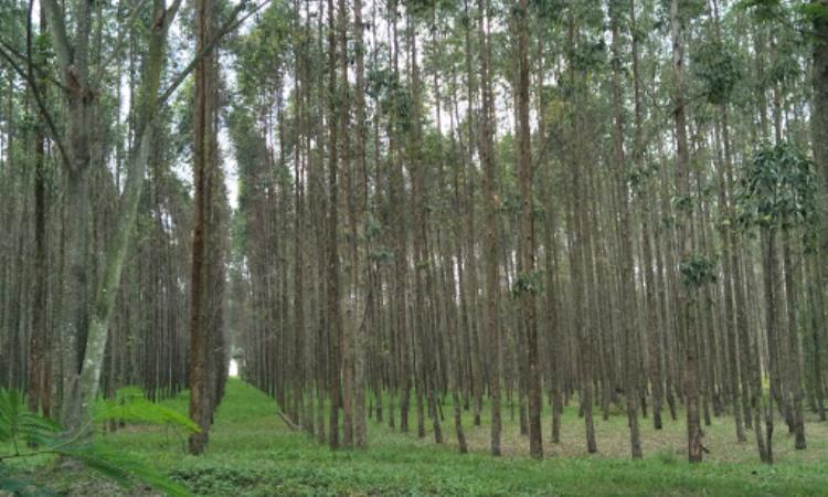 Hutan Kayu Putih Kragilan