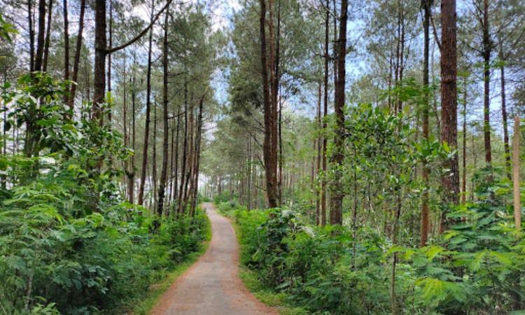 Hutan Pinus Kusumo Asri