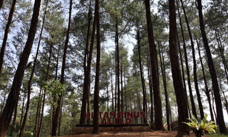 Hutan Rimba Pinus